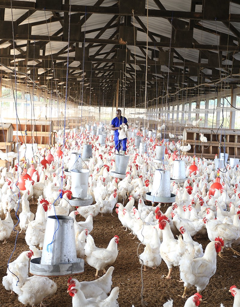Elevage de poulets en Afrique